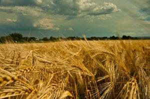 Лечебната сила на покълналото жито