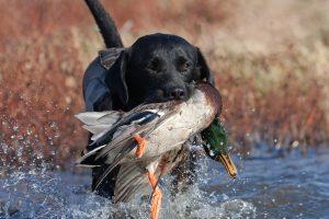 Сънуват ли ловните кучета?