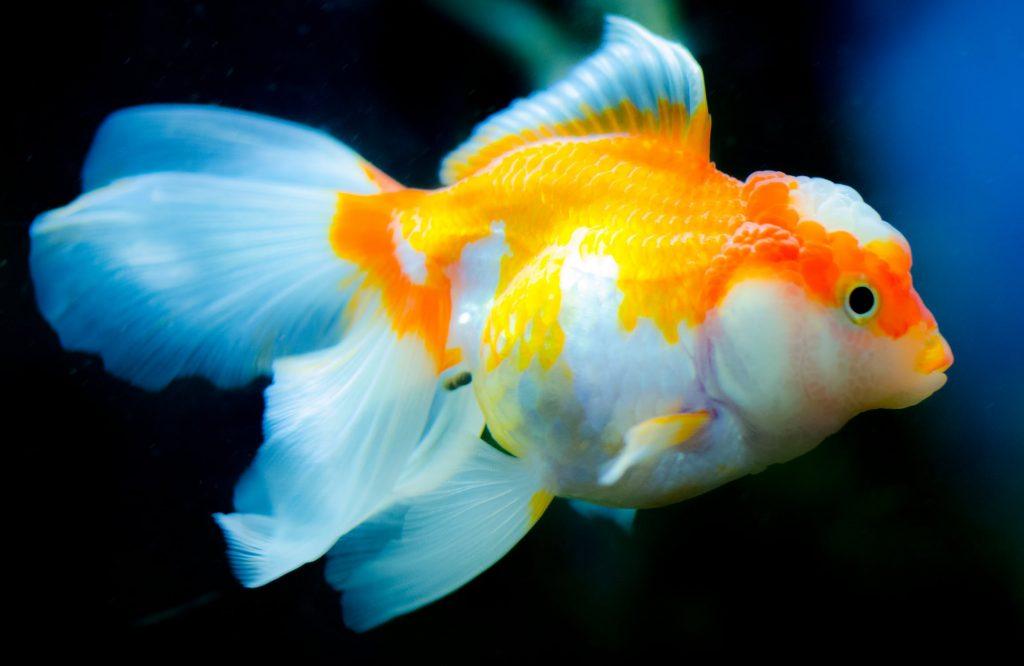 Златни рибки