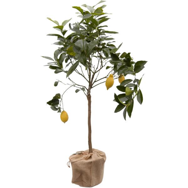 Лимоново дръвче