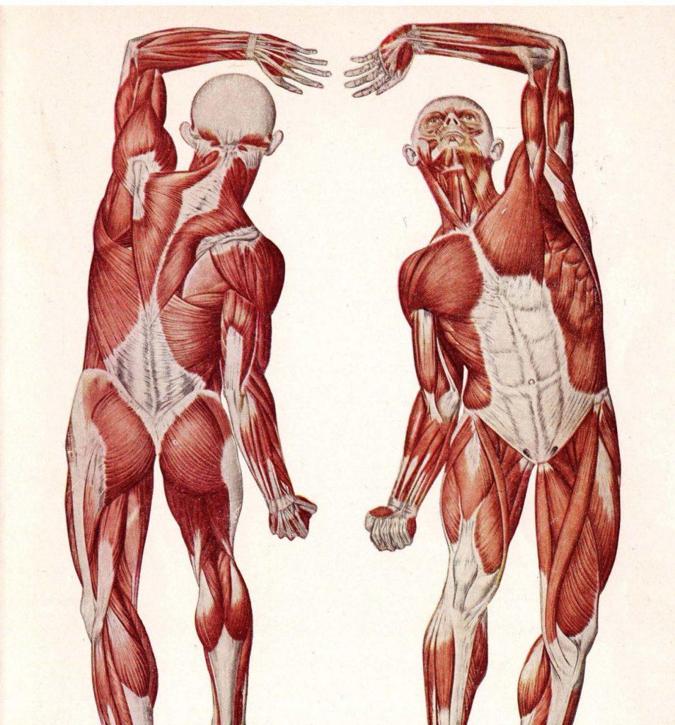 Диаграма на мускулите