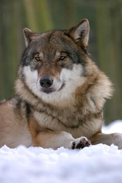 За да умилостивят вълците, прадедите ни ги почитали