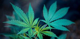 марихуаната и медицината