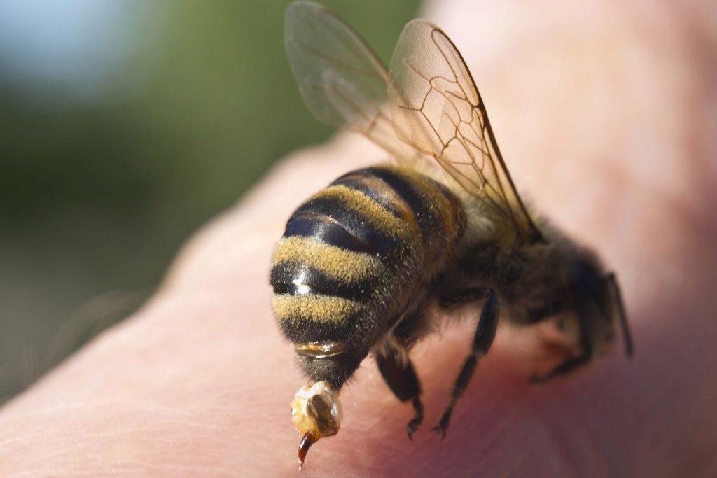 Търкайте с магданоз ухапаното от пчела