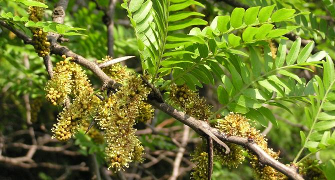 Плодове или листa от гледичия срещу болка - дърво/билка