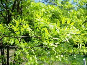 Плодове или листa от гледичия срещу болка