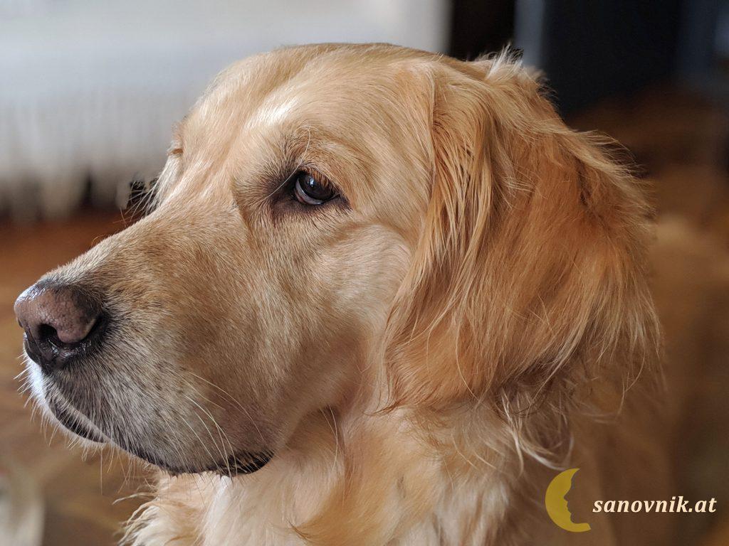 Да спасим нашите кучета - голдън ретривър