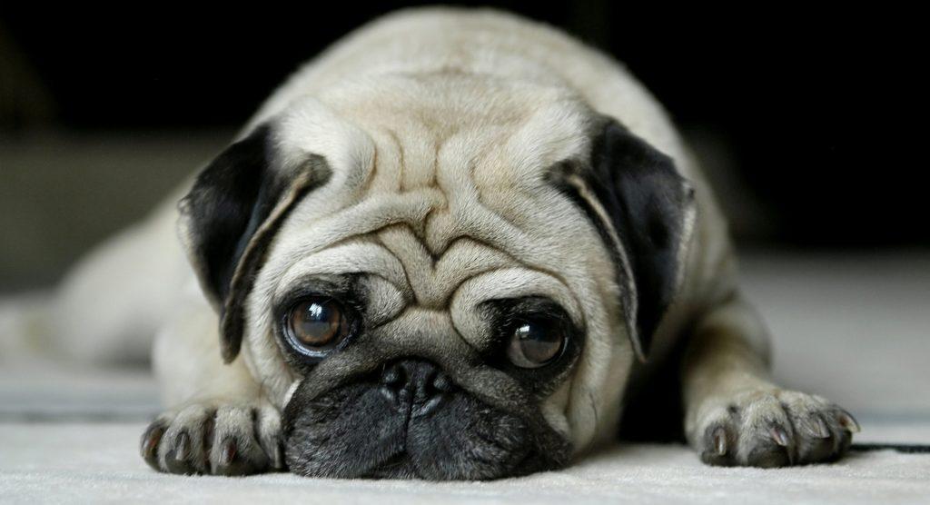 Куче за пенсионер - мопс