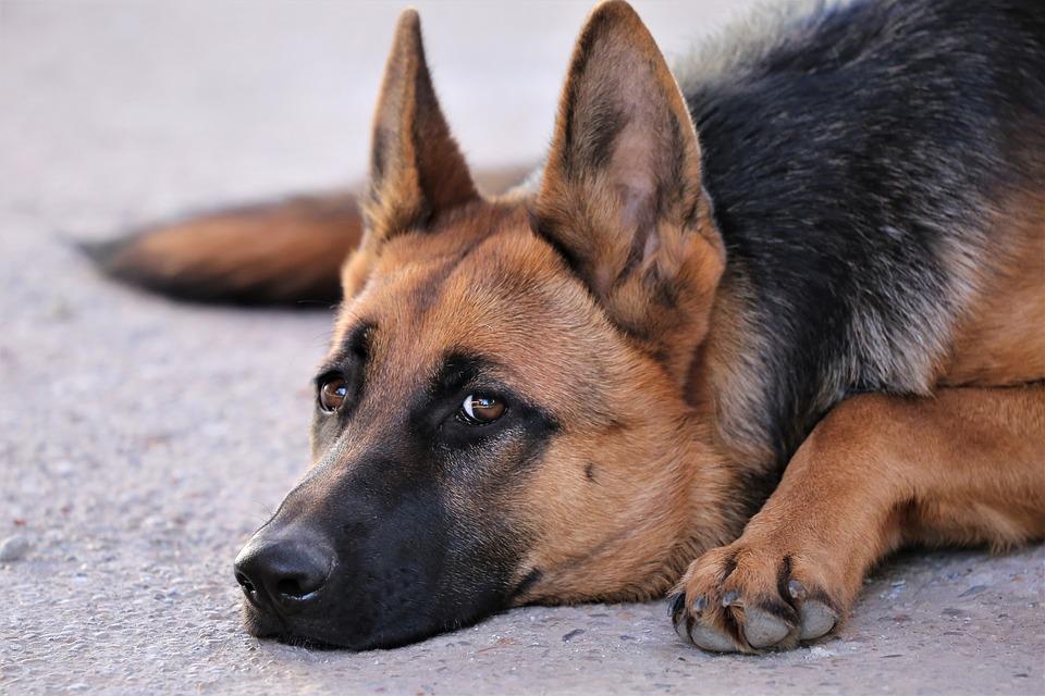 Куче пазач - немска овчарка
