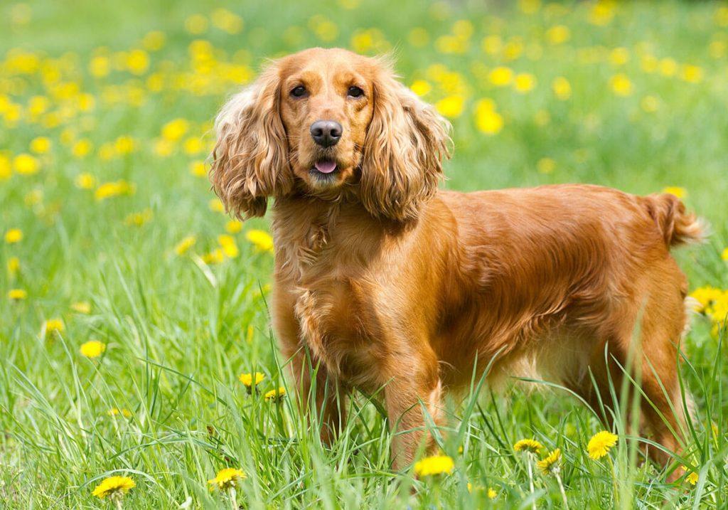Куче за домакинство с много животни - кокер шпаньол