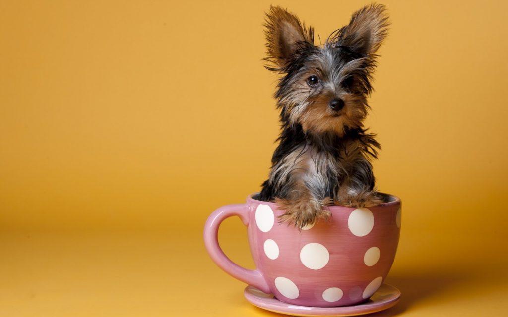 Куче, подходящо за апартамент - йоркширски териер