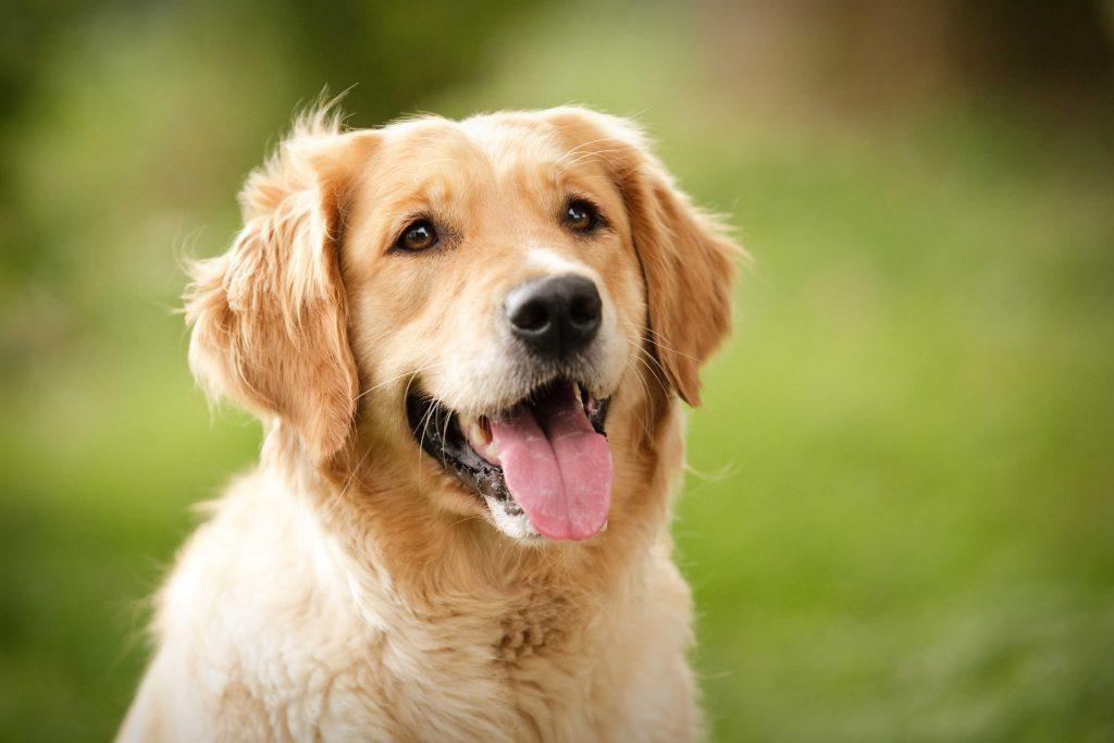 Семейно куче - голдън ретривър