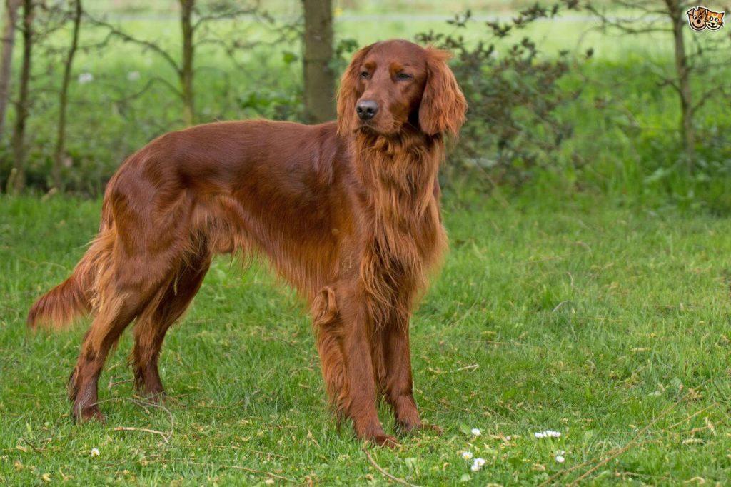 Атлетично куче - сетер