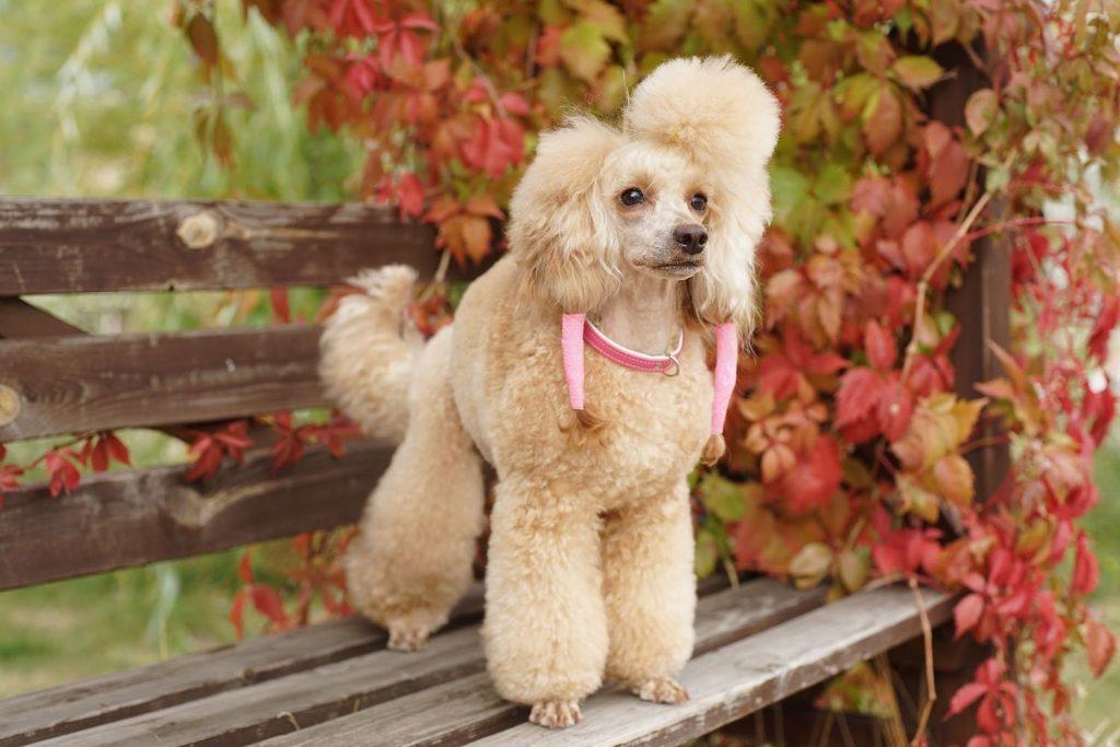 Хипоалергенно куче - пудел
