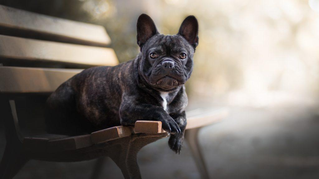 Джобен формат домашно куче - френски булдог