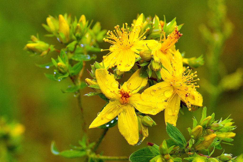 Най-мощният природен антидепресант - жълтият кантарион