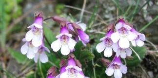 Koe e безсмъртно и лечебно растение открито в Родопите?