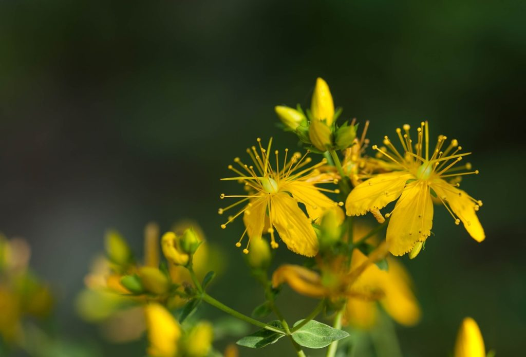 Билка - жълт кантарион