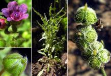 Cynoglossum officinalis L - наумка