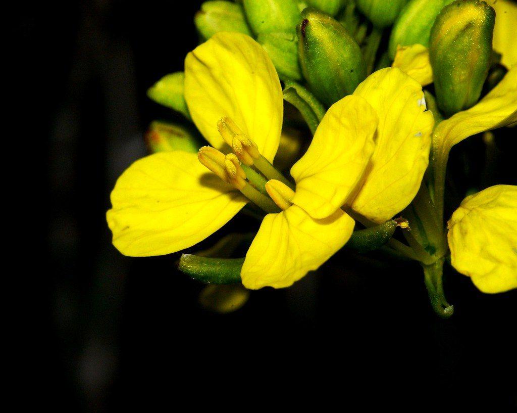 Черен синап - лечебно растение