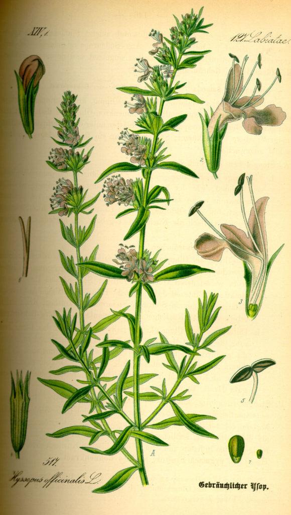 Лечебен исоп Hyssopus officinalis L. - приложение на билката