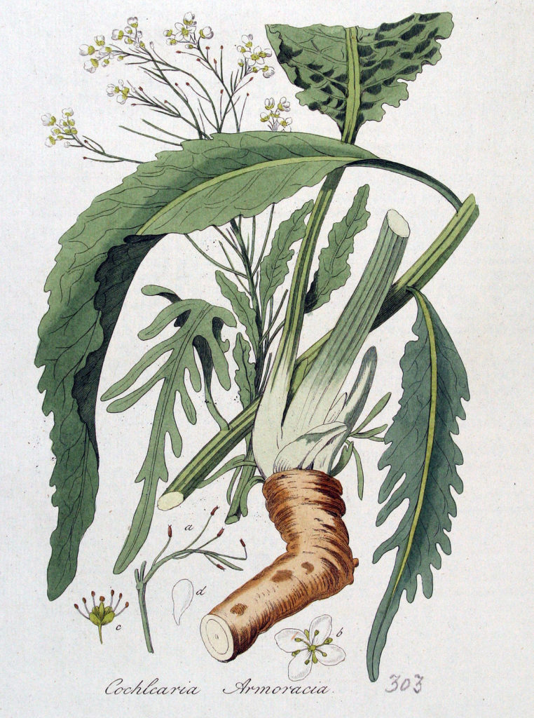 Хрян - лечебно растение