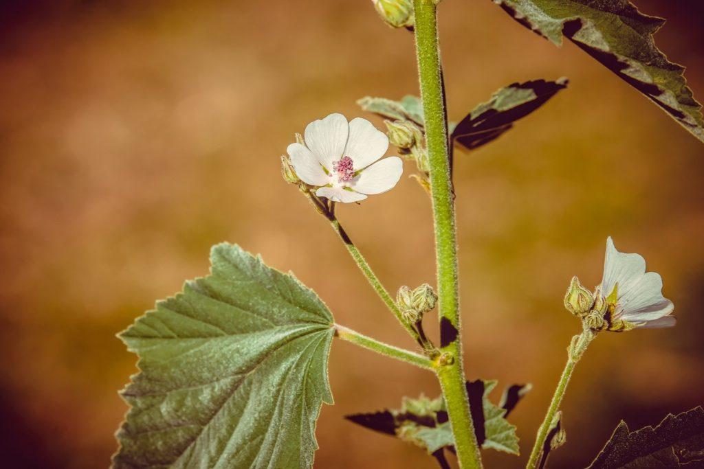 Лечебна ружа