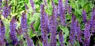 салвия лечебно растение