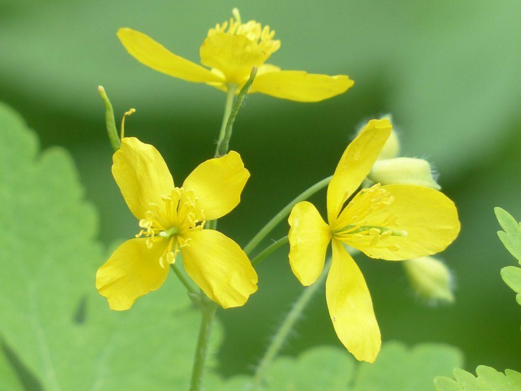 Лечебно растение жълтурче