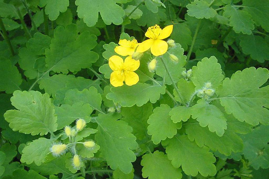 Жълтурче Ranunculus ficaria