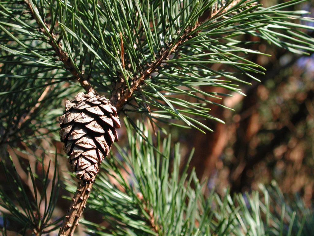 Pinus Sylvestris - бял бор - лечебна билка